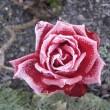 Rose at Littlemore